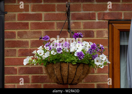 Tumberlina Priscilla and Surfinia Petunia white in a hanging basket flowering during summer, Northampton, UK. - Stock Photo