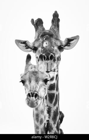 A male and female southern African giraffe's heads, Giraffa camelopardalis giraffa, and two birds, Red-billed oxpeckers, Buphagus erythrorhynchus, per - Stock Photo