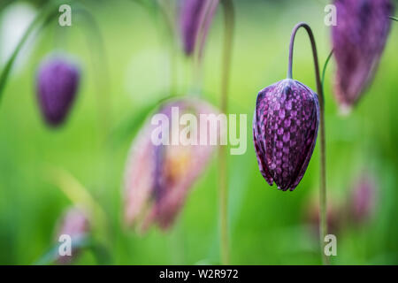 Close up of a delicate purple, checkered blossom of a Snake's Head Fritillary on a meadow. - Stock Photo