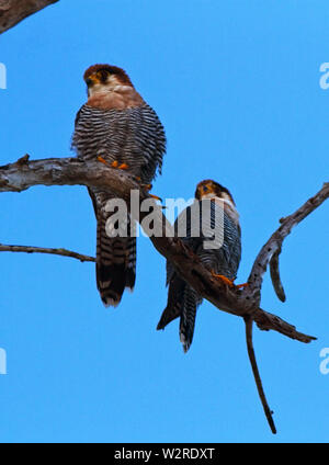 The Red-necked Falcon is a small dashing predator of small birds that it catches in flight. They are no-where common and prefer grasslands - Stock Photo