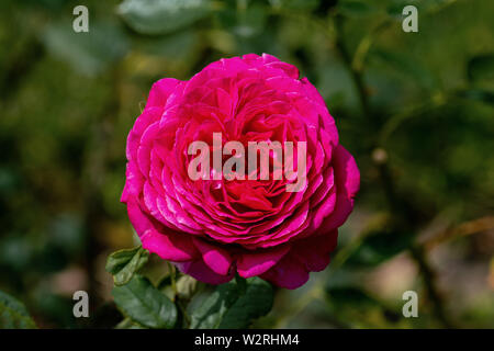 colourful close up of a single pink big purple rose head with bokeh background and detailed petals - Stock Photo