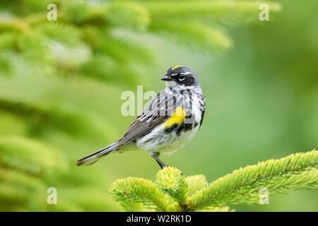 yellow-rumped warbler, Setophaga coronata, male on tree in spring, Nova Scotia, Canada - Stock Photo