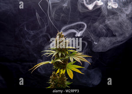 Cannabis plant in full bloom with smoke isolated over black background, medical marijuana concept - Stock Photo