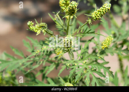 Ragweed. The genus name is from the Greek ambrosia, meaning 'food or drink of immortality'. Ambrosia artemisiifolia. is the most widespread species. - Stock Photo