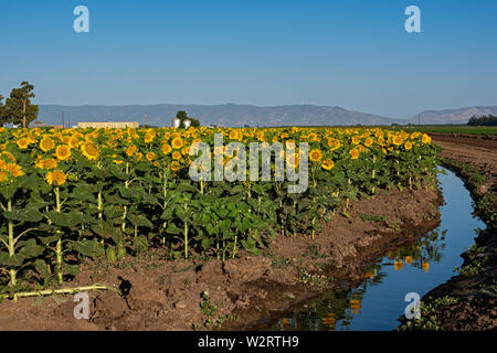 Sunflower Fields Dixon California - Stock Photo