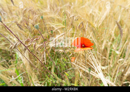 one Red poppy flower in a field of grains. - Stock Photo