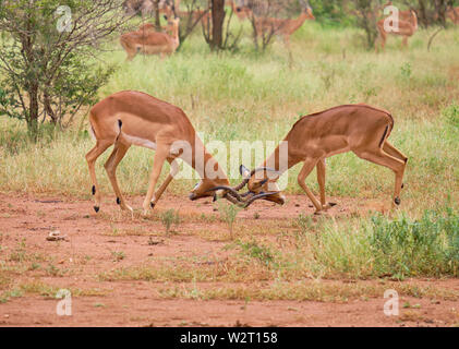 Two male common impala fighting for dominance locking horns, head bowed to the ground in dry plain - Stock Photo