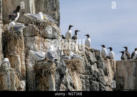 Sea birds in the Farne Islands, Northumberland, UK - Stock Photo