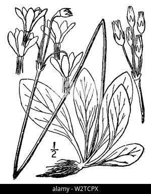 Fig. 0717. Dodecatheon meadia from the second edition of An Illustrated Flora of the Northern United States, Canada and the British Possessions (New York, 1913) - Stock Photo