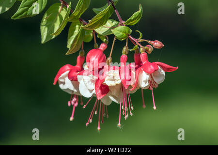 Closeup details of beautiful pink and white Fuchsia flowers and buds in Canadian garden. This plant is native to South America - Stock Photo