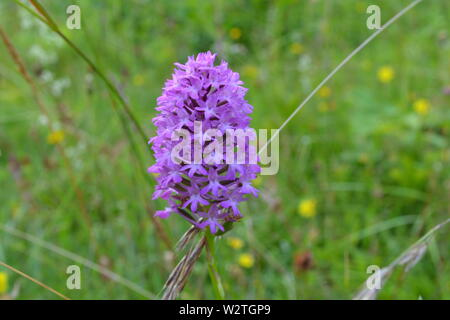Pyramidal orchid (Anacamptis pyramidalis) wildflowers at Downe Bank, north west Kent, where Charles Darwin, who lived nearby, used to study plants - Stock Photo