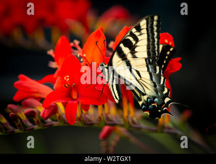 Western Tiger Swallowtail (Papilio rutulus) on a red lucifer flower