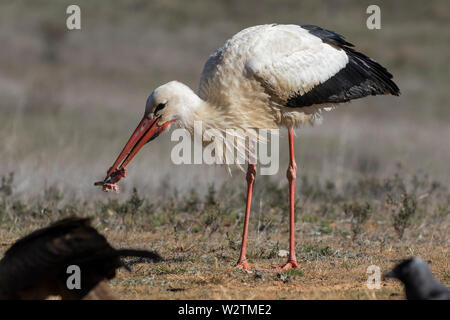 Birds - White stork (Ciconia ciconia) feeding on a meadow in summer. Spain - Europe - Stock Photo