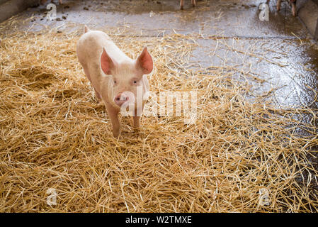 One piglet little pink pig with raised ears standing on hay in an indoor enclosure in piggery farm - Stock Photo