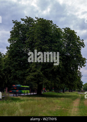 Midsummer Common, Cambridge, England, UK - A European horse chestnut tree in  full leaf with a bus driving past it. - Stock Photo