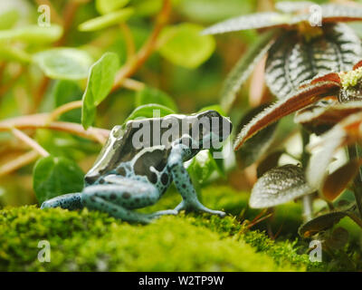 a dyeing poison frog turns away from the camera - Stock Photo