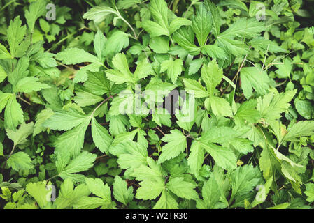 White mugwort leaves green for herb vegetable food nature in the garden / Artemisia lactiflora - Stock Photo