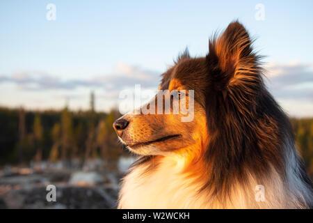 Shetland Sheepdog in Summer at Sunset - Stock Photo