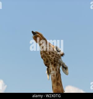 Giraffe sticking out her tongue. Shot from below - Stock Photo