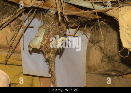 humming bird feeding her babies in the nest, humming bird nest in a house. - Stock Photo
