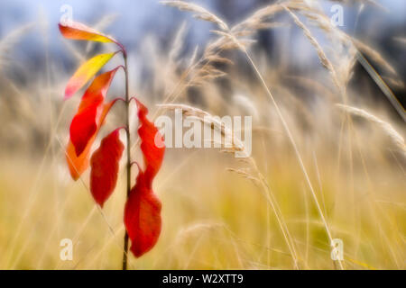 Red young Euonymus on the background of dry tall grass in the fall. Shallow depth of field photos were taken on soft lens. Blur - Stock Photo