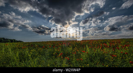Beautiful Pictures Showing Poppies Growing In The Cotswolds .Iconic Flowers Associated With Wars All Across The World.