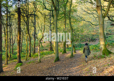 In autumn, woman walking by trees in quiet scenic sunlit woodland, covered in fallen leaves - Middleton Woods, Ilkley, West Yorkshire, England, UK. - Stock Photo