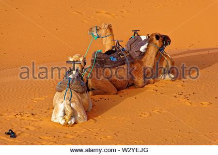 Dromedaries, Erg Chebbi, Morocco - Stock Photo