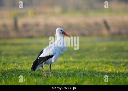 White Stork, march, Dingdener Heide, North Rhine-Westphalia, Germany, (Ciconia ciconia) - Stock Photo