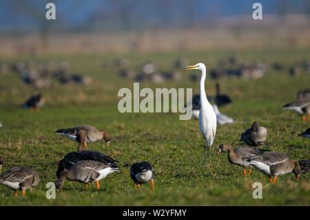 White-fronted goose and Great egret, february, Dingdener Heide, North Rhine-Westphalia, Germany, (Anser albifrons), (Casmerodius alba) - Stock Photo
