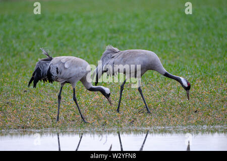Common crane, couple, april, Gross Quassow, Mecklenburg-Vorpommern, Germany, (Grus grus) - Stock Photo