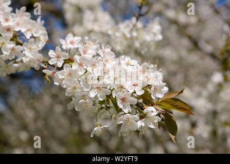 Sweet cherry, blossoms, april, Oberhausen, Ruhr Area, North Rhine-Westphalia, Germany, (Prunus avium) - Stock Photo