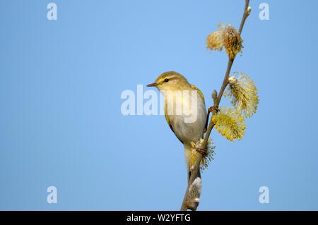 Willow warbler, male, april, Haaksbergerveen, Haaksbergen, Overijssel, Netherlands, (Phylloscopus trochilus) - Stock Photo