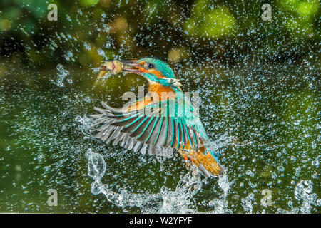 River Kingfisher, Netherlands, Alcedo atthis - Stock Photo