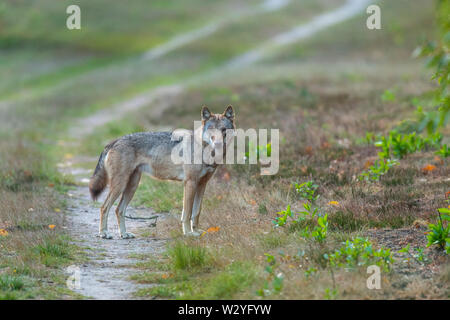 Wolf, Sogel, Emsland, Lower Saxony, Germany, Canis lupus, Sögel - Stock Photo