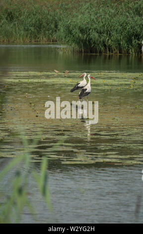 white stork, river woernitz, central-franconia, hesselberg region, bavaria, germany, (Ciconia ciconia), Wörnitz - Stock Photo