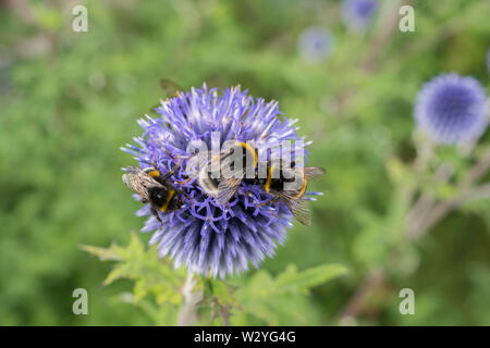 globe thistle, baden-wuerttemberg, germany, (Echinops) - Stock Photo