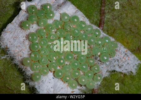 garden tiger moth, great tiger moth, eggs, (Arctia caja) - Stock Photo
