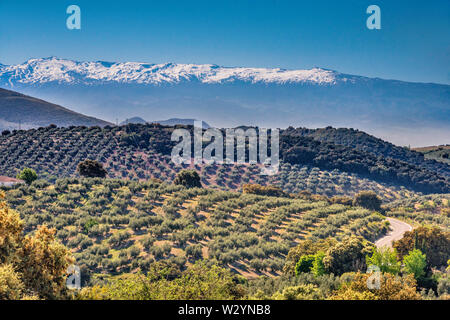 Sierra Nevada, seen in haze from 50 km away, over olive tree groves, from GR3410 road near town of Moclin, Granada province, Andalusia, Spain