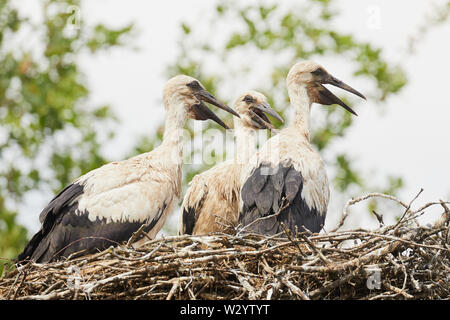 Three young storks on a nest busy for posterity - Stock Photo