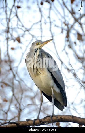 Grey Heron (Ardea cinerea) in St James's Park, London, UK - Stock Photo