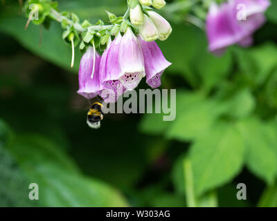 A Buff-Tailed Bumblebee Flying Towards a Foxglove Flower Looking for Nectar in a Garden in Alsager Cheshire England United Kingdom UK - Stock Photo