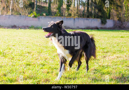 Playful full length border collie shepherd dog funny face expression playing outdoors in the city park. Adorable attentive puppy ready to catch the fl - Stock Photo