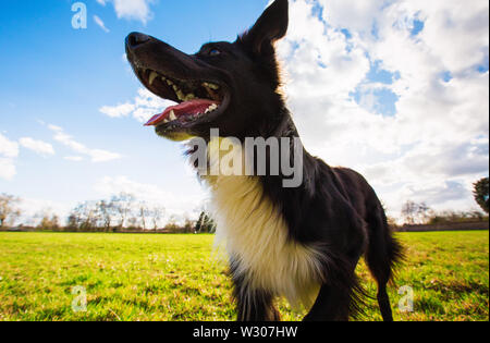 Close up portrait of playful purebred border collie dog playing outdoors in the city park. Adorable puppy enjoying a sunny day in the nature, funny op - Stock Photo