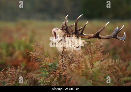 Red deer stag roaring in autumn, UK. - Stock Photo