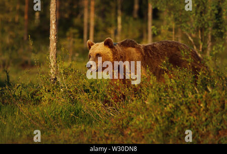 Close-up of European brown bear (Ursos arctos) male in boreal forest, Finland. - Stock Photo