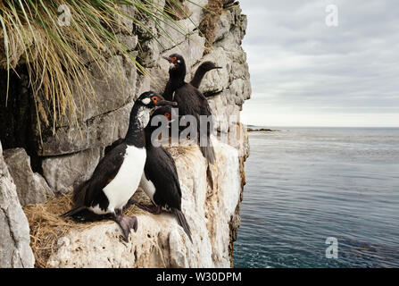 Close up of Rock shags (Phalacrocorax magellanicus) nesting on the ledges of steep, bare, rocky cliffs in Falkland islands. - Stock Photo