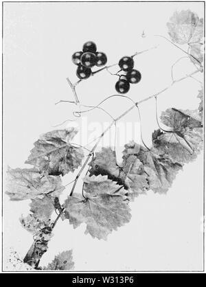 PSM V82 D352 Vitis rotundifolia southern fox grape - Stock Photo