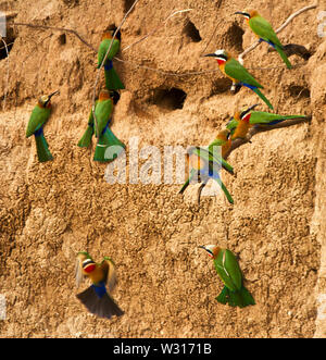 The White-fronted Bee-eater is a rrsident member of the family and they nest in large quarrelous colonies where they dig their tunnels into the soft r - Stock Photo