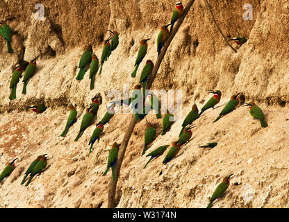 The White-fronted Bee-Eater is a resident member of the family and they nest in large quarrelous colonies where they dig their tunnels - Stock Photo